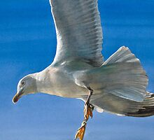Seagull by Freda Surgenor