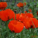 Poppies by Holly Werner