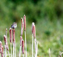 Savannah Sparrow on Rushes by May-Le Ng