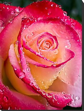 November rose in the rain by Celeste Mookherjee