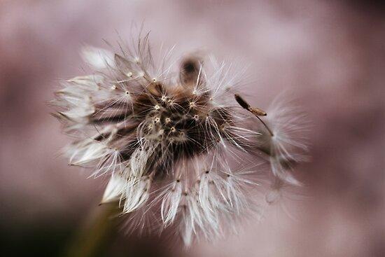 Dandelion In Monochrone by Evita