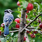 A Blue Jay in a crabapple tree by EdgarAndre