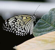 Butterfly by Colin  Daniels