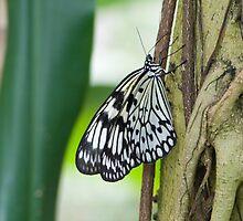 Butterfly on Tree by Colin  Daniels