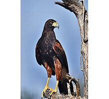 Harris Hawk iPhone Case by Barbara Manis