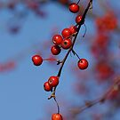 Dogwood Berries by Robin Lee