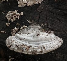 White Shelf Fungus by Deb Fedeler