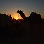 Thar Desert camel at dawn, Jaisalmer, Rajasthan, India by jphenfrey