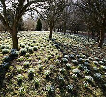 Snowdrops at Lamplugh, Cumbria by Jan Fialkowski