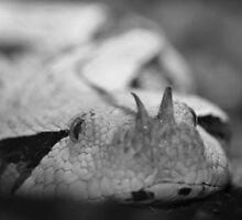 Gaboon Viper by Christopher Lloyd