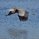 Great Blue Heron by Robin Lee