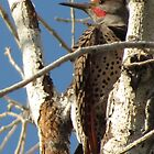 Northern Flicker (Red-shafted)~ Male by Kimberly Chadwick