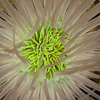 Tube Anenome by Fatfish Photography