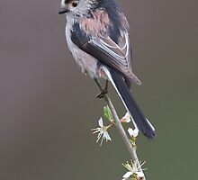 Long-tailed Tit by wildlifephoto