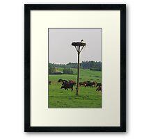 Cows herd Framed Print
