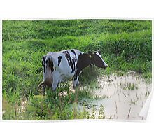 Straggled cow Poster