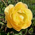 Yellow Rose of Friendship by GreenSaint