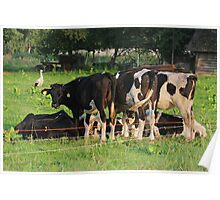Cows Poster