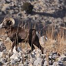 Stansbury Mountain, Utah Bighorn Sheep by Robbie Knight