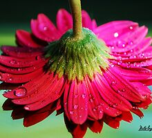 Upsidedown Gerber Daisy Reflection by Mattie Bryant