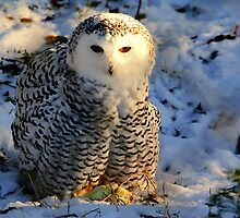 Snowy Owl by Larry Trupp
