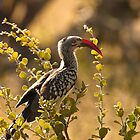 Red-billed Hornbill, Botswana by Brian Healy Photography
