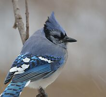 Blue Jay by Mully410