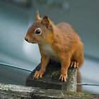 Red Squirrel by VoluntaryRanger