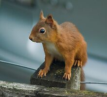 Red Squirrel by Jamie  Green
