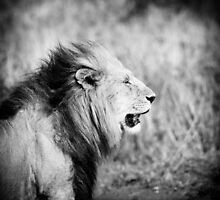 Old lion, Masai Mara, Kenya  by javarman