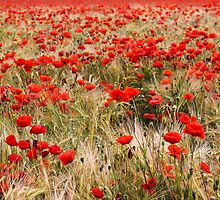 Poppies barley field by Damien Kelly