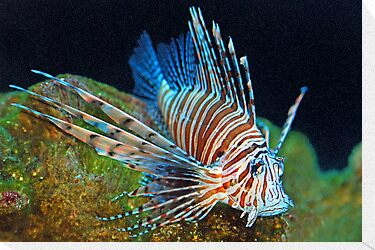 Lionfish 2 by Leon Heyns