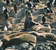 Ushuaia wildlife, seals sunning themselves by bethischeery
