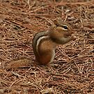Chipmunk at our Campsite by eaglewatcher4