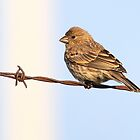 House Finch by Alinka