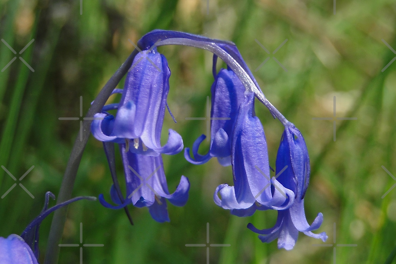Bluebell in the shade by Barrie Woodward