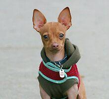 Chihuahua dog by ritmoboxers