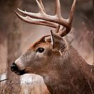 White Tailed Deer Buck by Michael Cummings