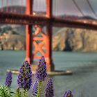 Flowers at the Golden Gate by Matt Erickson