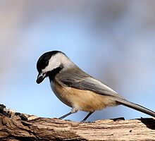 Black Capped Chickadee by Gregg Williams