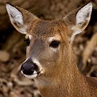 Hello Deer by Jeff Weymier