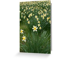 Field of Daffodils Greeting Card