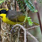 Yellow-tufted Honeyeater (Helmuted Honeyeater) Lichenostomus cassidix by David  Piko