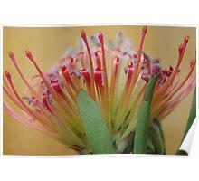 'Sincere' Leucospermum (2) Poster