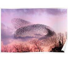 Murmuration of Starlings, November 5th 2011 Poster