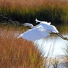 Snowy egret in flight by Jeremy D'Entremont