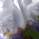 Iris - Full Bloom by Joy Watson