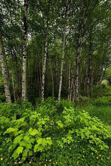 Aspen Trees and Ground Cover by Lee LaFontaine