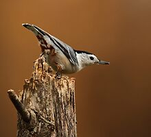 White-breasted Nuthatch by Bill McMullen