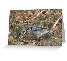 Blue Jay Settling In Greeting Card